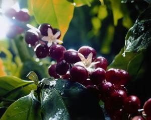 Kávová větvička - seznamte se