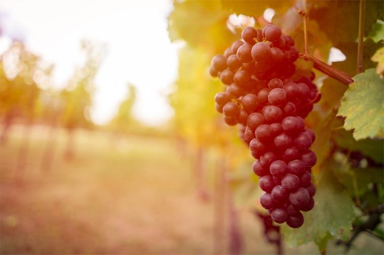 kdy se u nás začalo pěstovat víno